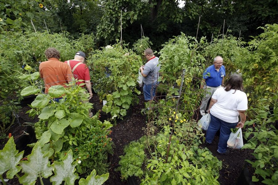 Veterans work in and harvest from gardens Saturday morning at Cantigny Park in Wheaton, where they gather once a week during the growing season for a brief lesson and some hands-on work.