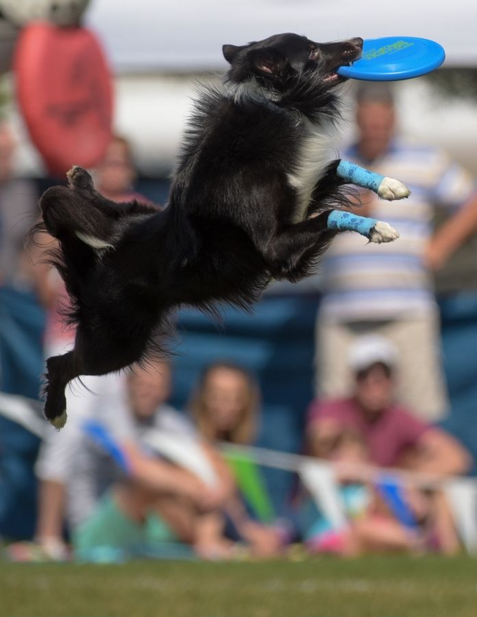 Dogs from around the world will compete Saturday and Sunday in the Ashley Whippet K-9 Frisbee World Championships in Naperville.