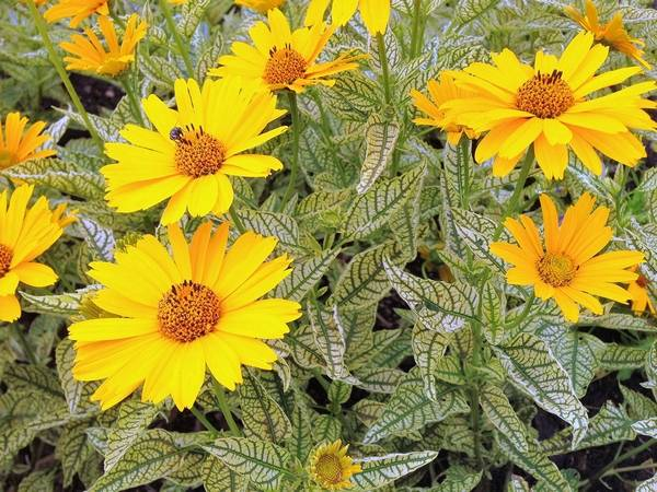 Late summer gardens shine with pieces of gold heliopsis sunstruck shows off its golden flowers over variegated foliage mightylinksfo