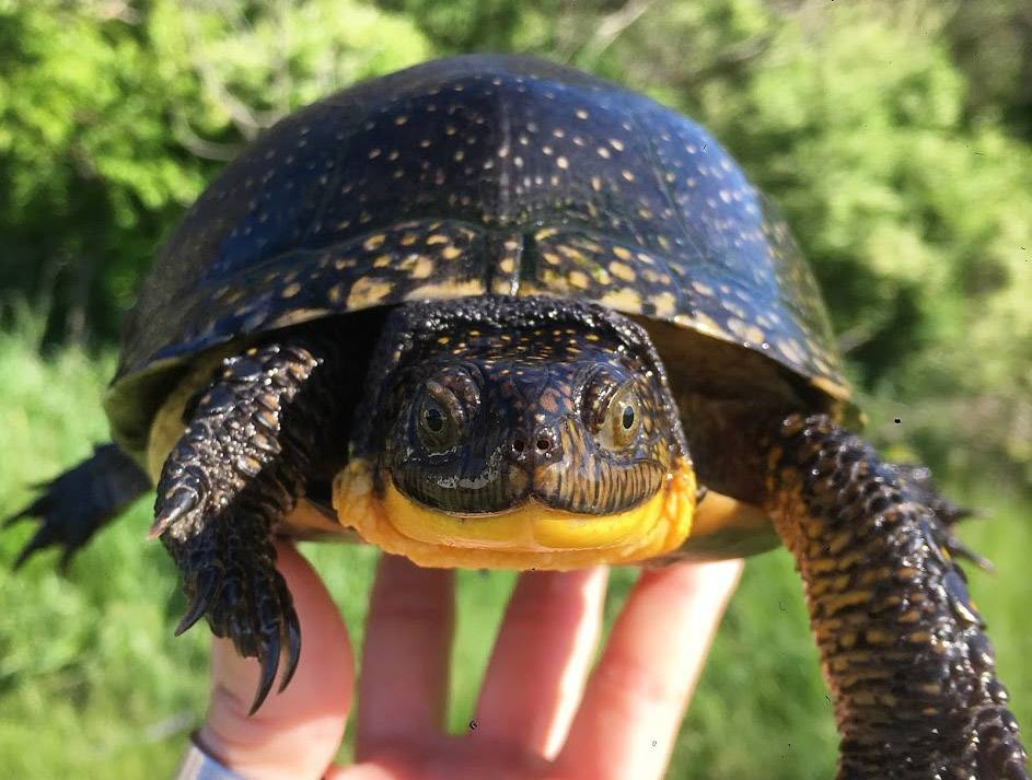 Straight From the Source: How we're saving the Blanding's turtle