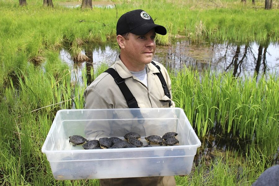 Gary Glowacki prepares to return a batch of Blanding's turtles to the wild.