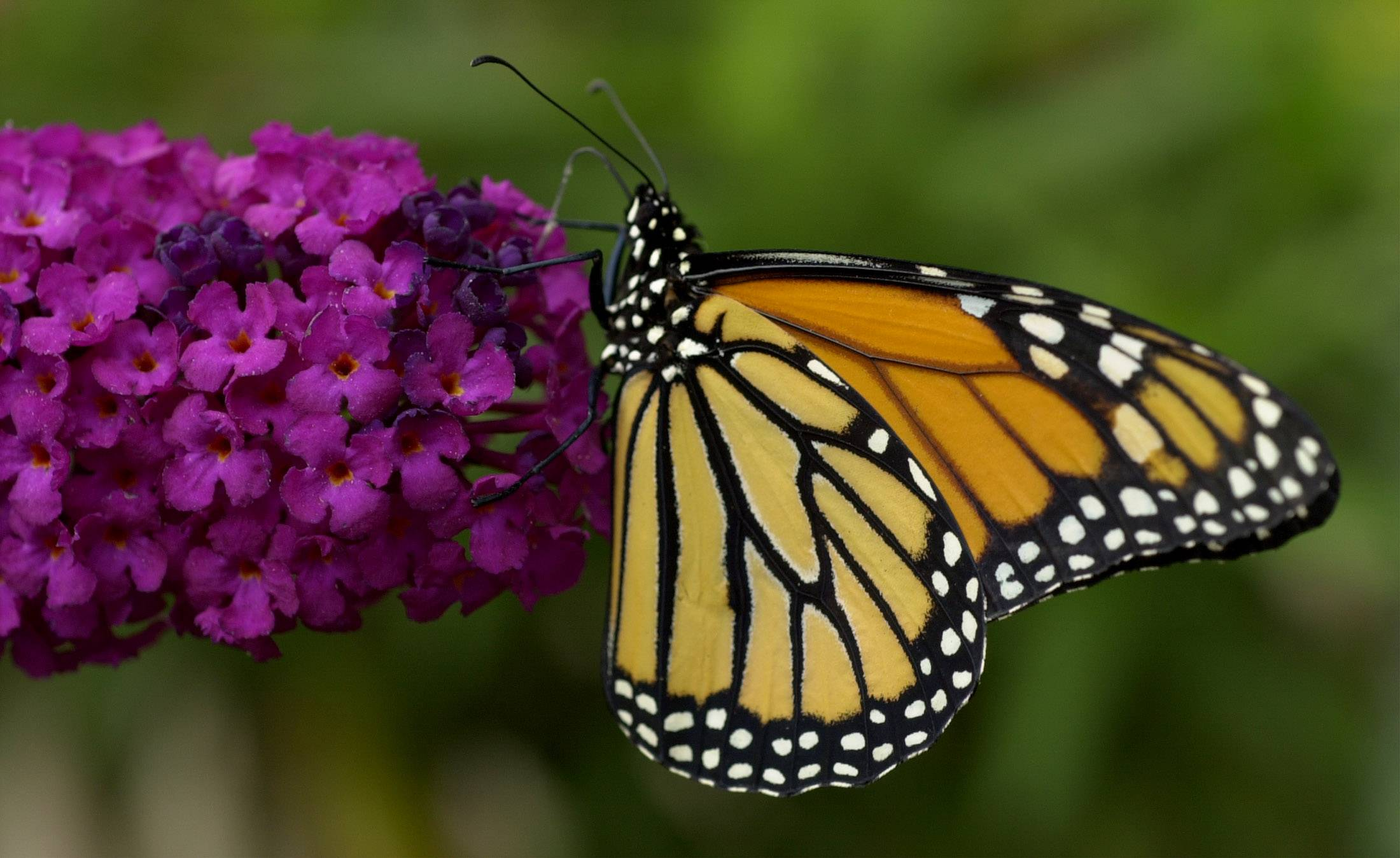 State researchers say the Monarch butterfly population is at its fourth highest level since 1993 as migration peaks in Illinois.