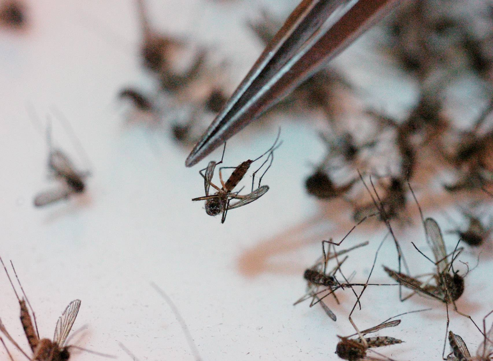 The common floodwater mosquito, the aedes vexans, being counted at the Northwest Mosquito Abatement District.
