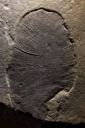 Study of puzzling fossils confirms they came from an animal