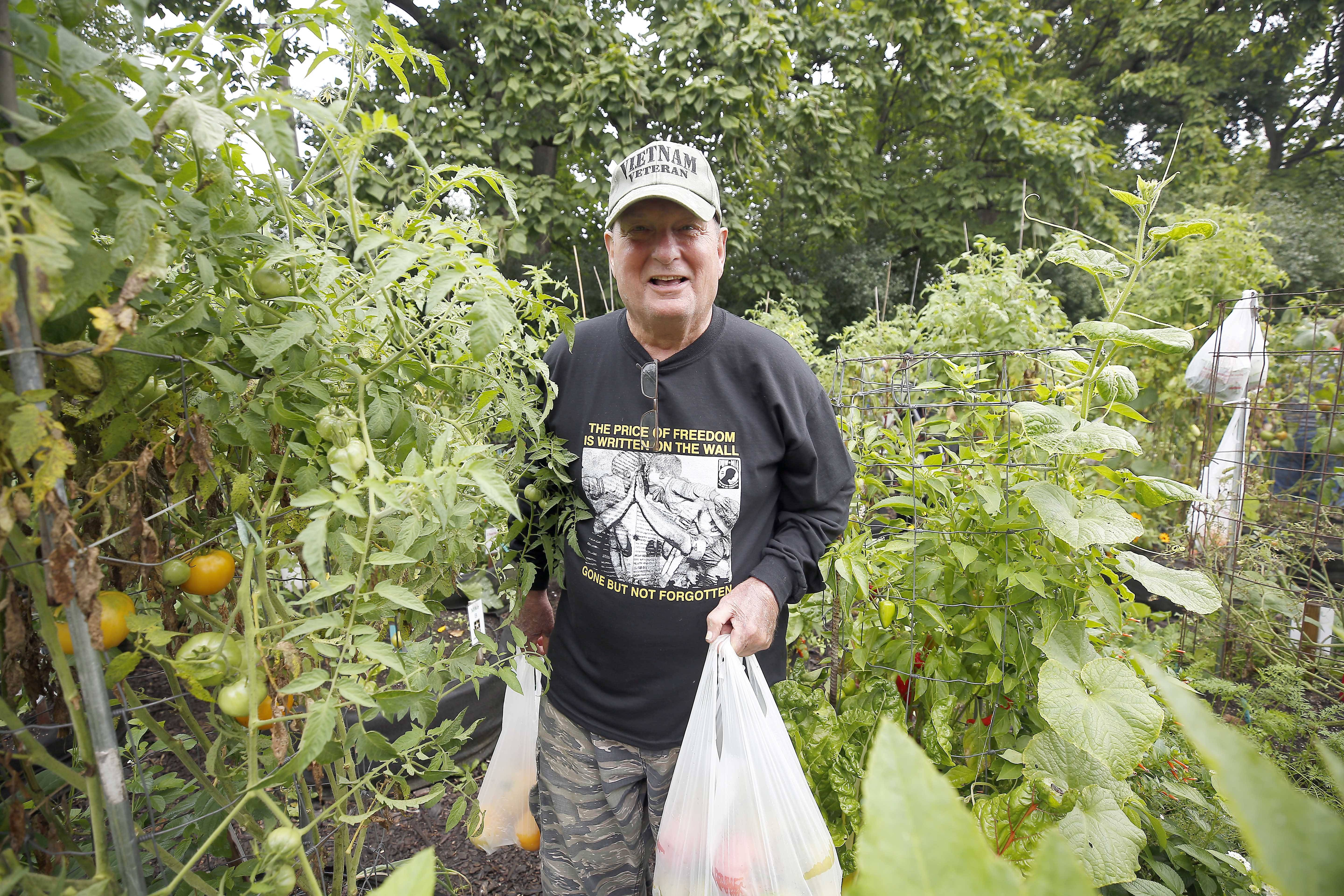 Vietnam Army veteran Mike Barbour of Naperville harvests vegetables at Cantigny Park in Wheaton, where two master gardeners work with about 20 veterans each week, helping them learn to grow.