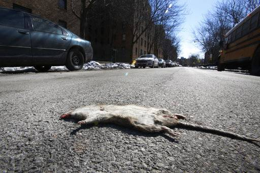 In this Tuesday, March 5, 2015, photo, a dead rat sits on the street outside Marshall Field Garden Apartments in Chicago. Before Marshall Field Garden Apartments was renovated, tenants frequently complained about rodents. Residents say life has improved since the renovation _ and they were surprised that the building remained subsidized in a neighborhood where affordable housing is scarce.