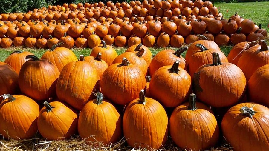 Kroll's Fall Harvest Farm in Waukegan provides a selection of pumpkins and an expansive corn maze.