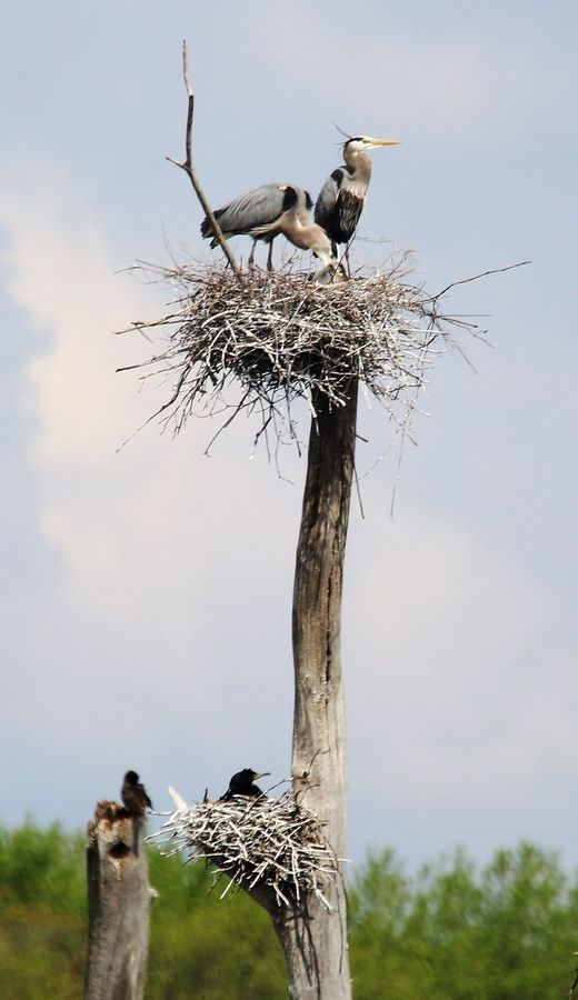 Great blue herons and cormorants nest in a cottonwood tree at the Almond Marsh Rookery south of Route 120 near Grayslake