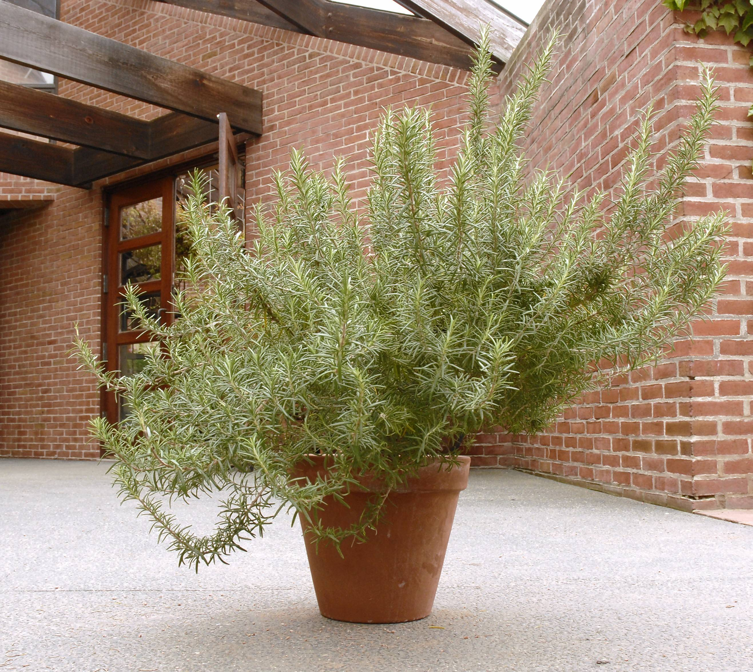 Rosemary and other herbs can be potted, brought indoors, grown and used over the winter.