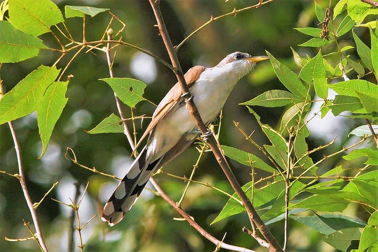 Cuckoo sightings are coveted by local birders. This yellow-billed cuckoo posed in the open, a rare behavior for the secretive species. A less common second variety, black-billed, is even more elusive.