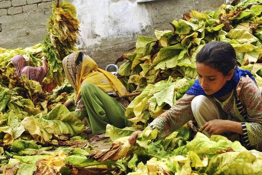 "In this Wednesday, July 25, 2018, photo, Ansa Khan, along with elder sister and neighbors, gather tobacco leaves in Mardan, Pakistan. Since 2012 the United Nations has reserved Oct. 11 as the International day of the Girl Child ""to recognize girls' rights and the unique challenges girls face around the world.� This year the theme is employable skills for girls, particularly in the poorer economies."