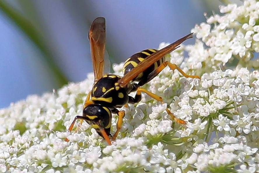 A non-native European paper wasp on non-native Queen Anne's lace. The European paper wasp is a concern to ecologists because it aggressively competes with native wasps. An additional concern is its predation of monarch caterpillars.