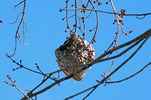Bald-faced hornets' nests are securely attached to branches, often high above the ground. This nest was well hidden at Tekakwitha Woods in St. Charles during the summer, but easy to spot when the leaves had fallen.
