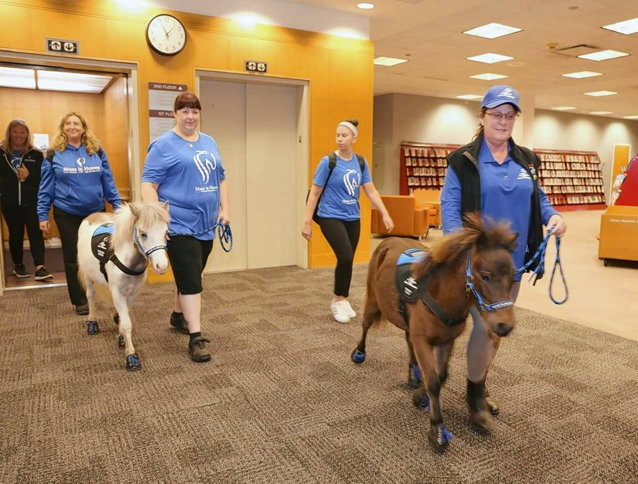 Hope and Winnie, miniature therapy ponies from Barrington-based Mane in Heaven, recently paid a visit to the Arlington Heights Memorial Library.