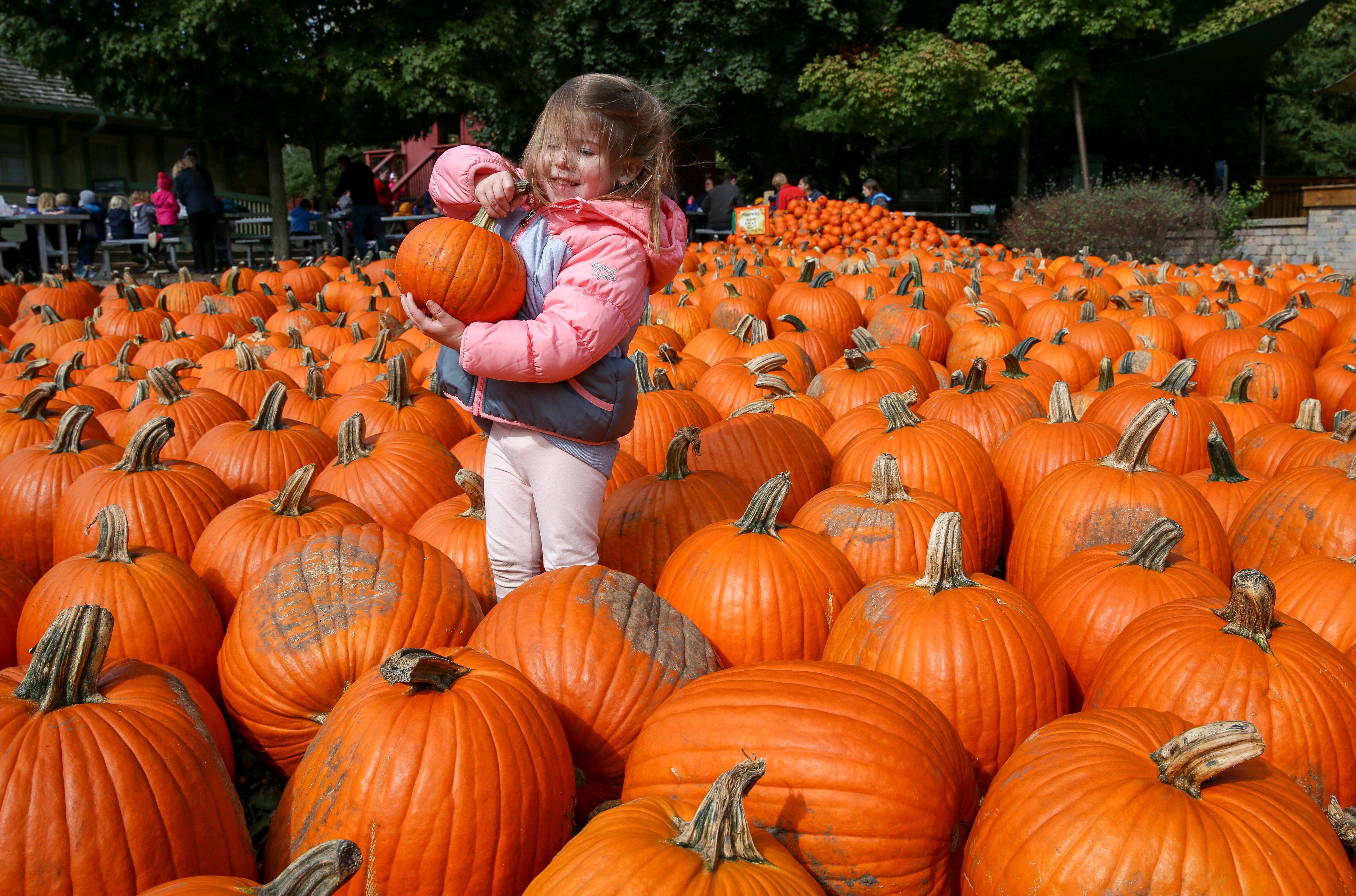 Emma Gunn, 3, of Wheaton, finds the perfect pumpkin at the Pumpkin Fest at Cosley Zoo in Wheaton earlier this fall.