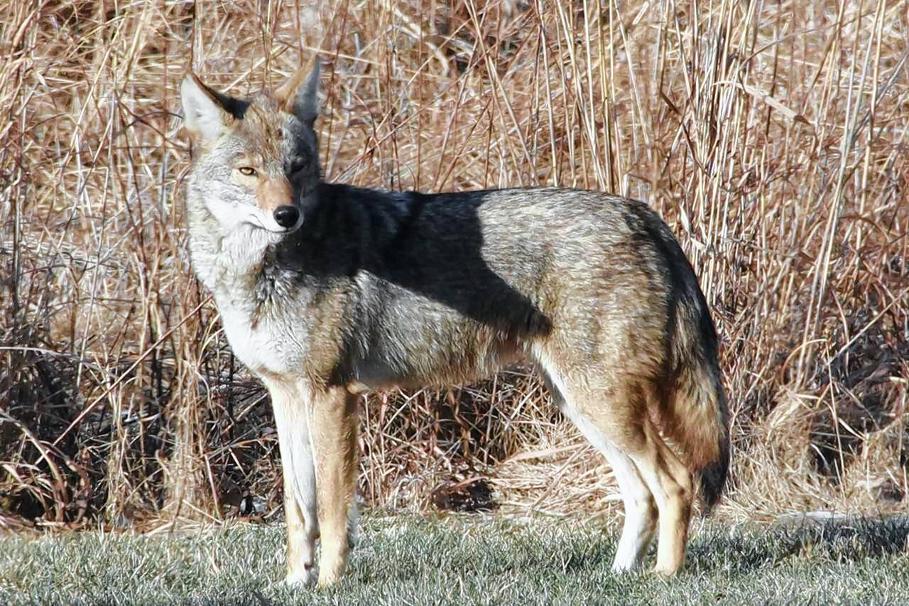 You're more likely to spot a coyote between now and February because it's mating season and the animals are looking to stake out new territory.