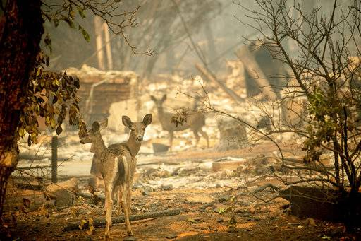 A deer walks past a destroyed home on Orrin Lane after the wildfire burned through Paradise, Calif., on Saturday, Nov. 10, 2018. Not much is left in Paradise after a ferocious wildfire roared through the Northern California town as residents fled and entire neighborhoods are leveled.