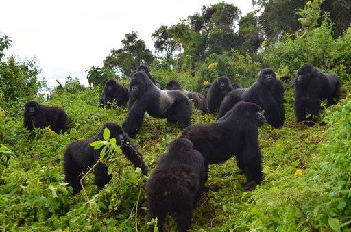 "In this 2016 photo provided by the Dian Fossey Gorilla Fund, a young mountain gorillas named Fasha, who has faced a number of challenges in her young life, including having been caught in a snare in the past, lies in the grass in Rwanda's Volcanoes National Park. On Wednesday, Nov. 14, 2018, the International Union for Conservation of Nature updated the species' status from ""critically endangered� to ""endangered.� The designation is more promising, but still precarious. (Dian Fossey Gorilla Fund via AP)"