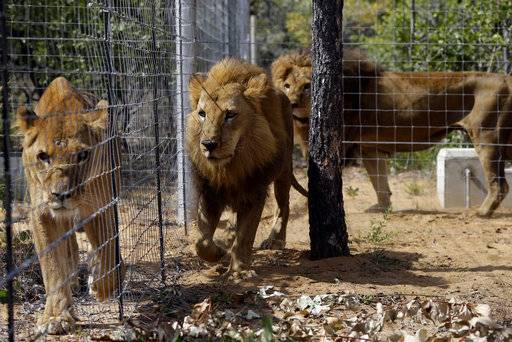 FILE - In this Sunday, May 1, 2016 file photo, former circus lions walk inside an enclosure at Emoya Big Cat Sanctuary in Vaalwater, South Africa, after 33 rescued lions from various circuses in Peru and Colombia were relocated to live out the rest of their lives in the private sanctuary. More than two-dozen lions that were rescued from South American circuses and transferred to a South African big cat refuge could be on the move again after a legal dispute. Animal Defenders International, a group that airlifted the lions to South Africa in 2016, secured a court order in Nov. 2018 allowing the removal of the lions from the Emoya Big Cat Sanctuary in Vaalwater. (AP Photo/Themba Hadebe, File)