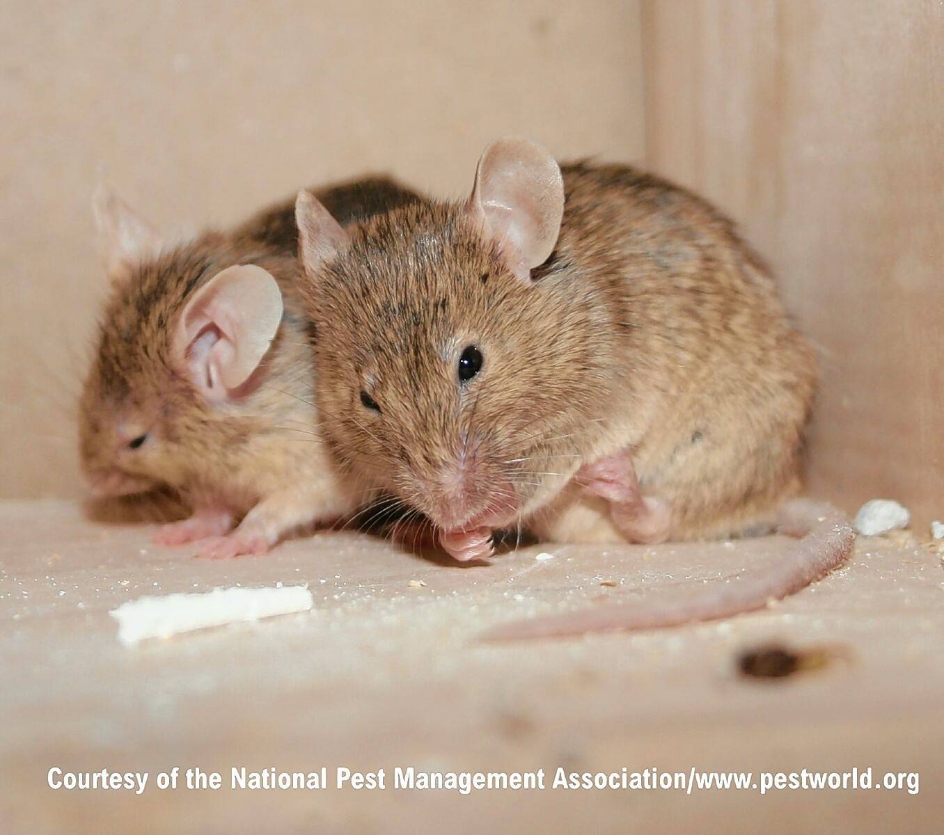 Why mice love our suburban homes