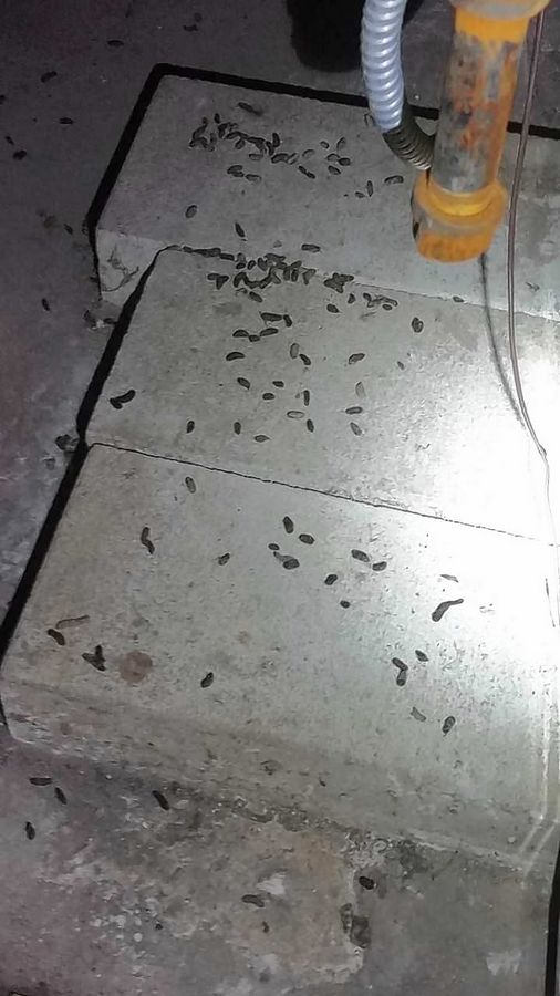 Mouse droppings can cause diseases in humans such as hantavirus pulmonary syndrome, leptospirosis and salmonellosis if cleaned up improperly, pest control experts say.
