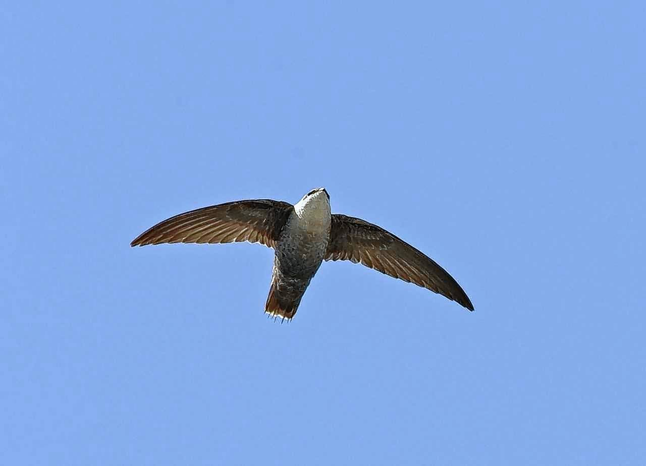 Swifts are aerial specialists, feeding entirely on flying insects.