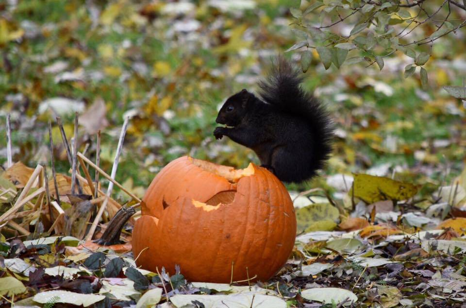 A squirrel gets a Halloween treat in Arlington Heights.