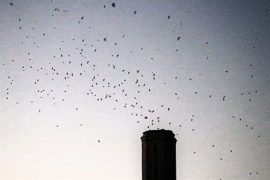 Roughly 2,000 chimney swifts swirl into Abbott Middle School's smokestack in Elgin during Kane County Audubon's evening watch event in September.