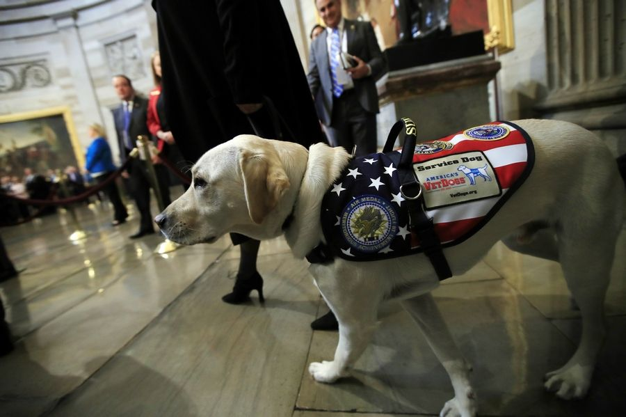 Sully, former President George H.W. Bush's service dog, walks to the Capitol Rotunda to pay respect to President Bush as he lie in state at the U.S. Capitol in Washington, Tuesday, Dec. 4, 2018.