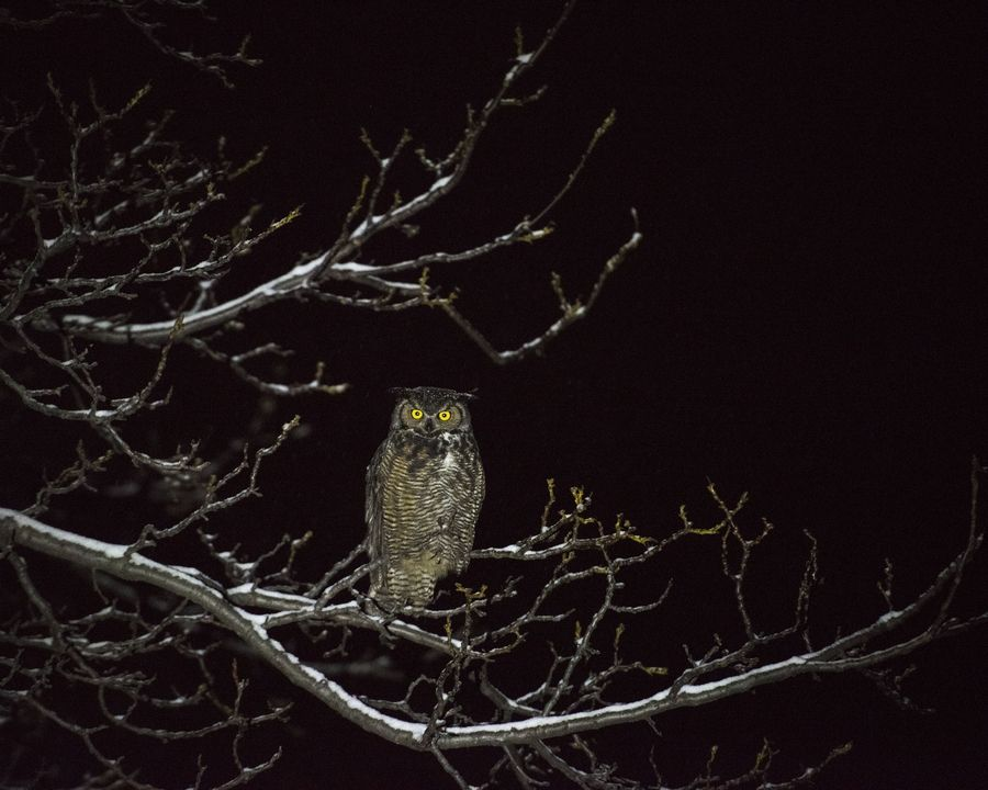 This great horned owl sits perched in the black of night on the branch of a walnut tree in winter during a snowfall.