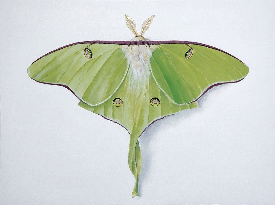 Luna moths, a giant silk moth named after the Roman moon goddess, has pale and luminous green wings.