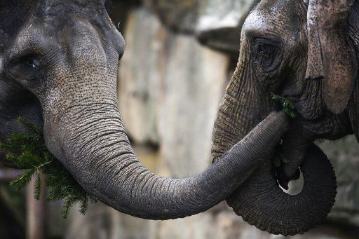 Zoo elephants eat Berlin's leftover Christmas trees