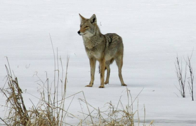 Expect an increase in coyote sightings between now and February as young coyotes leave their parents in search of mates and territories to call their own.