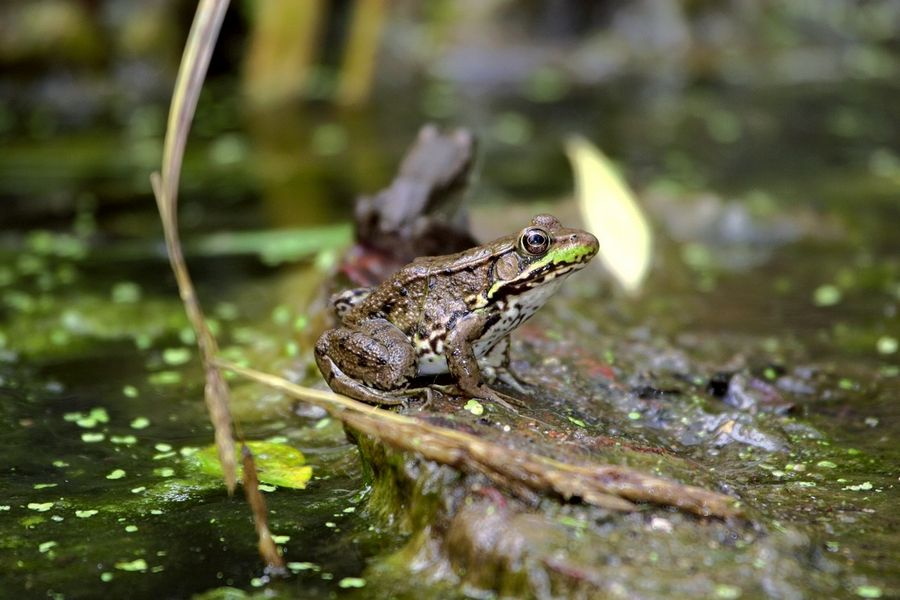 A green frog hangs out at a suburban pond.