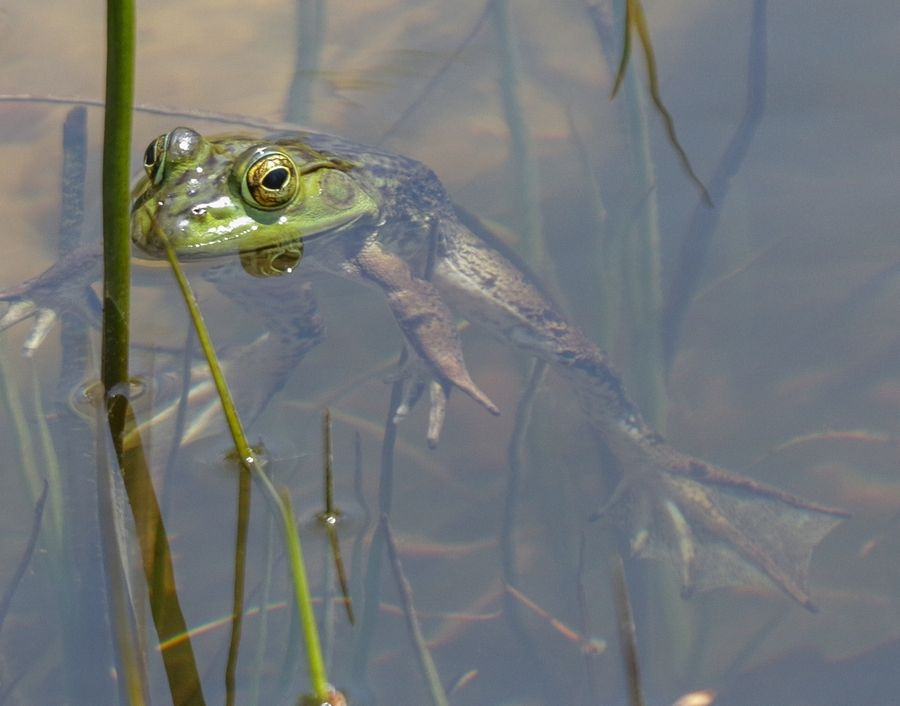A frog appears in a pond at Morton Arboretum in Lisle.