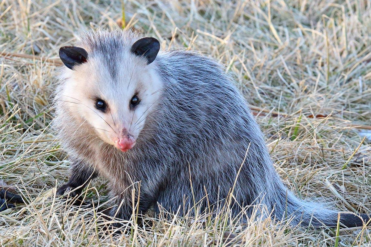 "An opossum foraging in James ""Pate"" Phillips State Park in Bartlett."