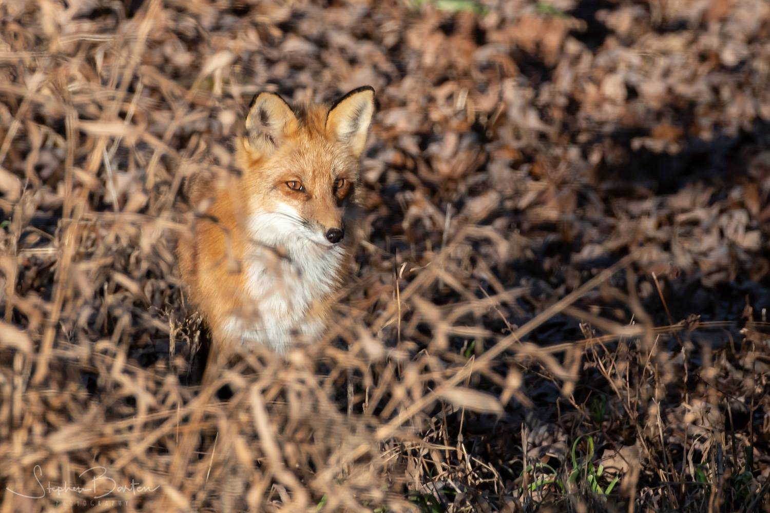 A fox seen in a backyard near Barrington.