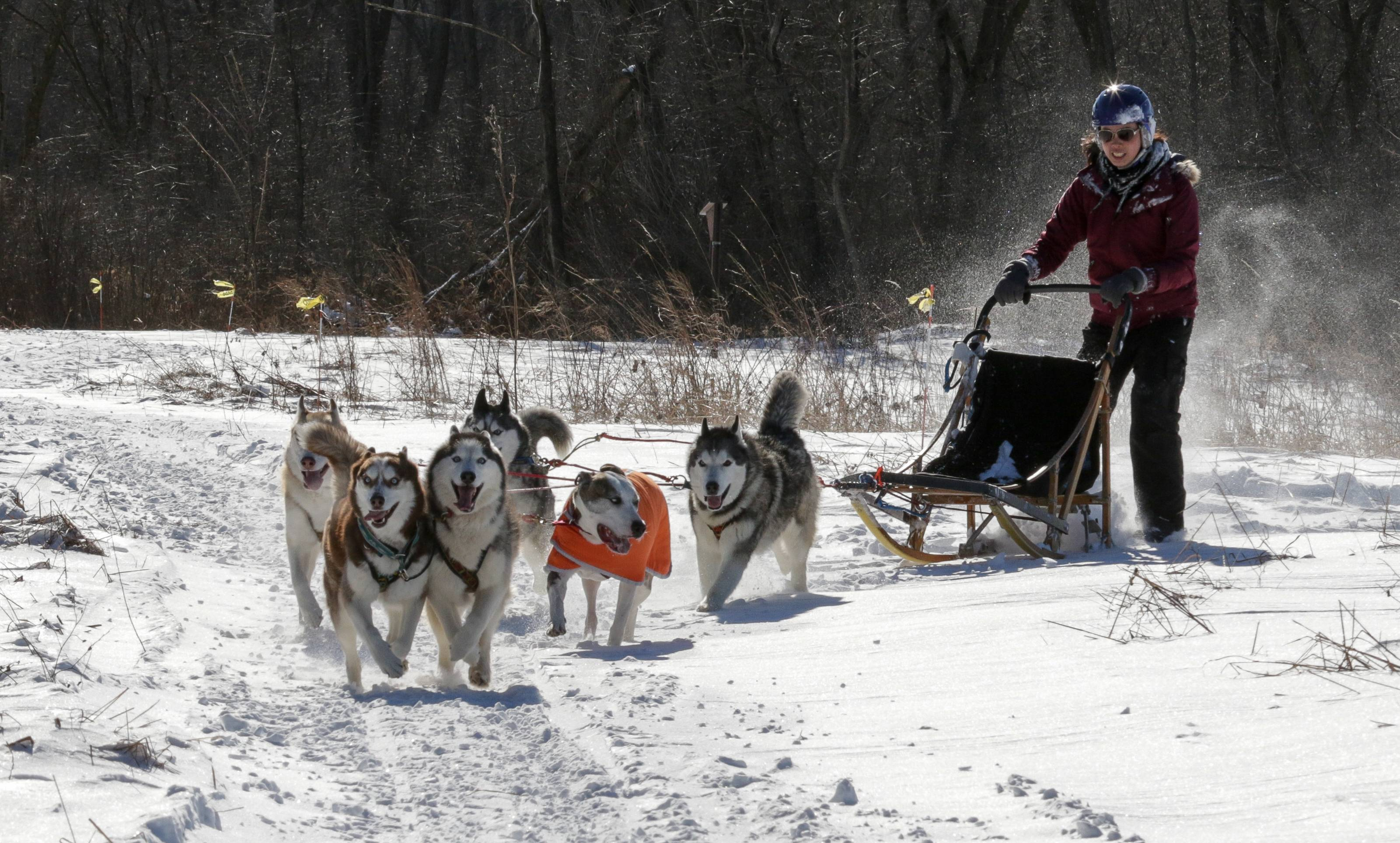 Ashley McGrane of the Windy City Mushers takes sled dogs for a run Sunday during the Spring Valley Winter Fest in Schaumburg.