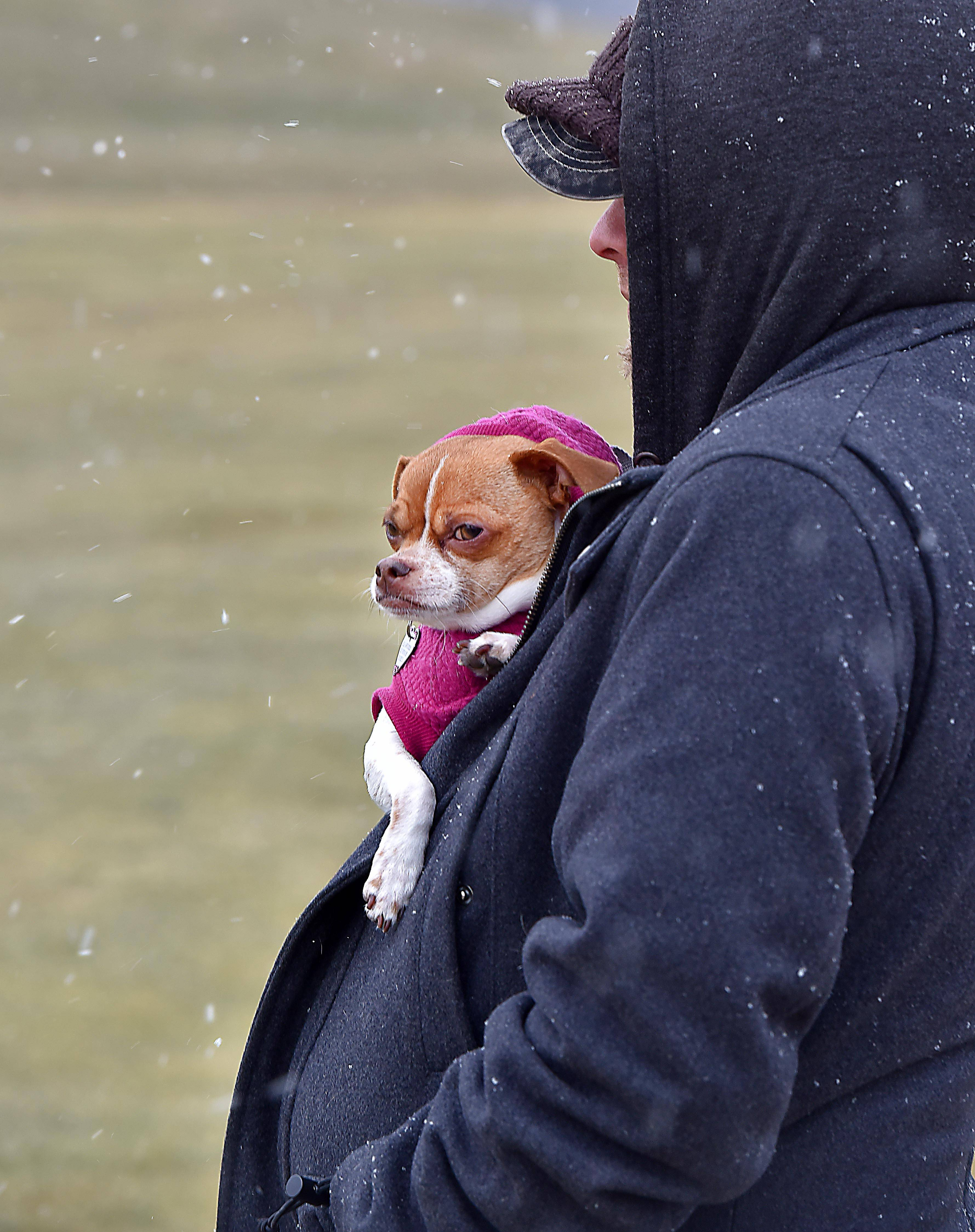 Bella, a Chihuahua/Pug mix rescue dog, does her best to tolerate the snow and cold inside the coat of Charles Ongena, her owner, of Gurnee at a winter festival at Bittersweet Golf Club in Gurnee Saturday, January 12, 2018.