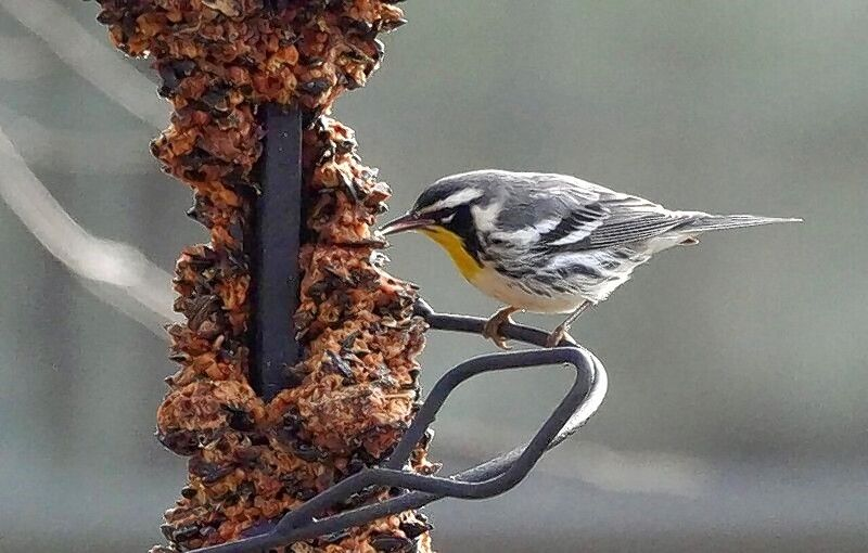 This yellow-throated warbler in St. Charles was a most unlikely backyard visitor, given its arrival in late November.
