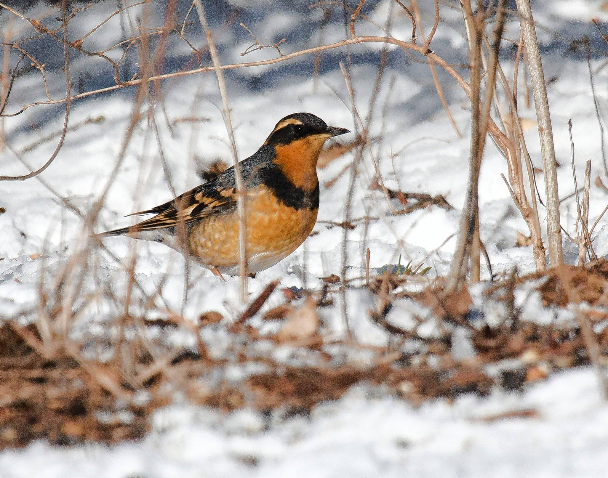 Birders scurried to Palos Park to see this varied thrush in January.