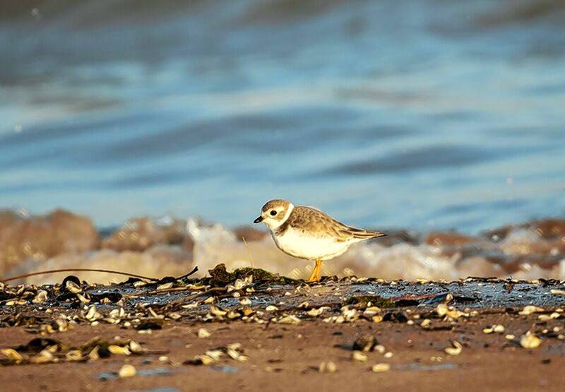 This resilient piping plover on Montrose Beach was the latest ever in Illinois.