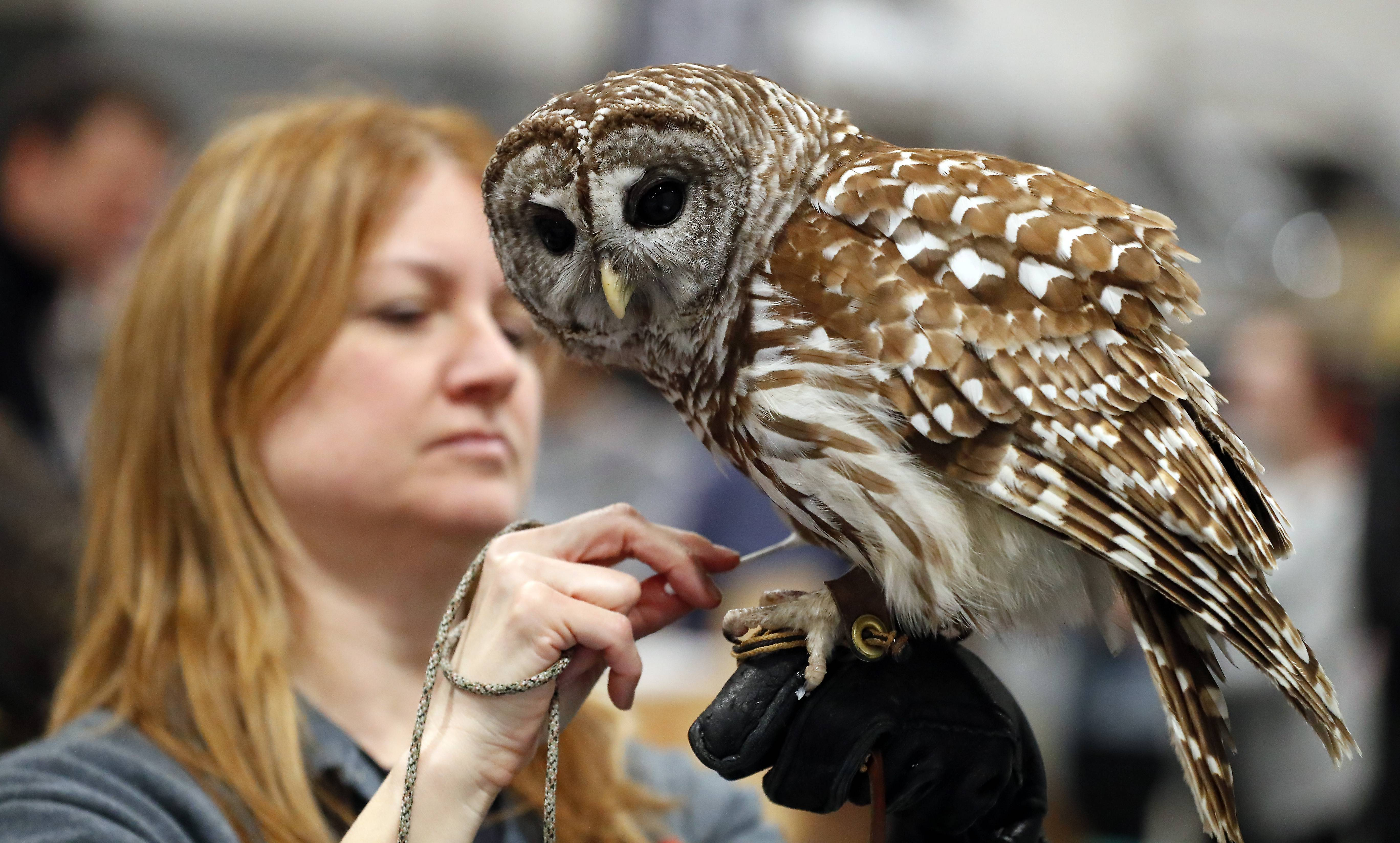 Kristi Richter of the Wings and Talons raptor education organization prepares a barred owl during the Chicagoland Fishing, Travel & Outdoor Expo Sunday at the Renaissance Schaumburg Convention Center.