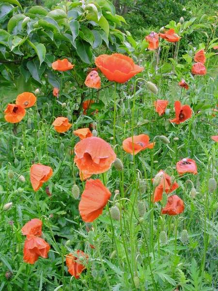 Poppies Are Tougher Than They Look And Can Be Sown Early