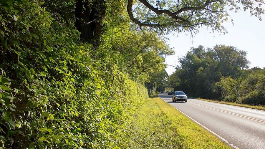 Buckthorn shrubs are trimmed as a solid hedge along a highway. Various groups want to trim down buckthorn altogether.