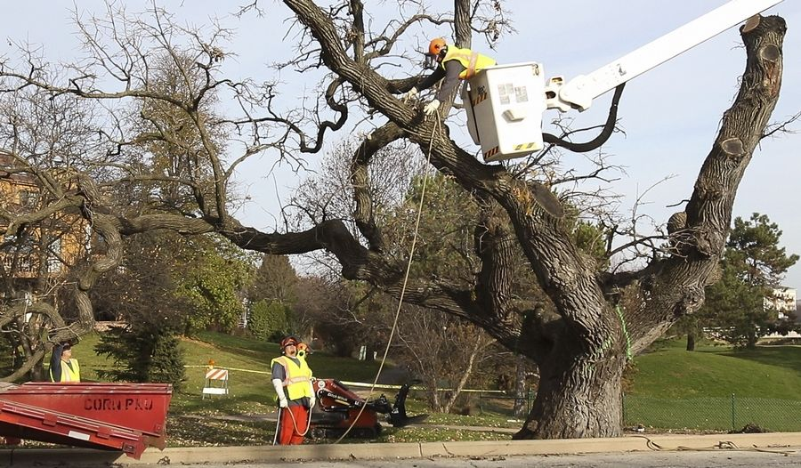 DuPage County crews begin to take down the Hobson Oak in November 2016 near the corner of Hobson and Greene roads. Wood from the tree since has been used by artists to create pieces to be auctioned for charity.