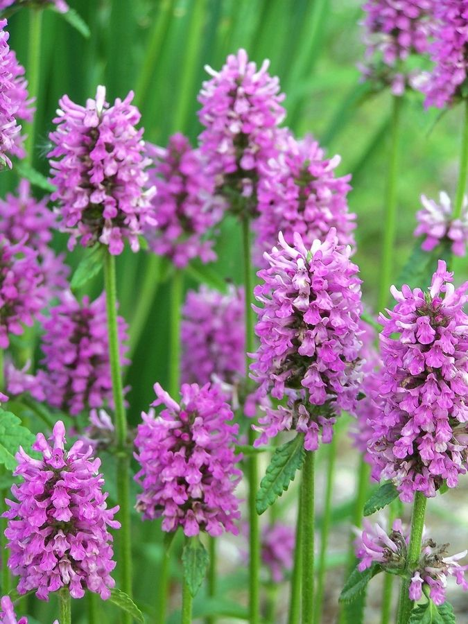 The flowers of Stachys Hummelo will bloom all summer if they are deadheaded.