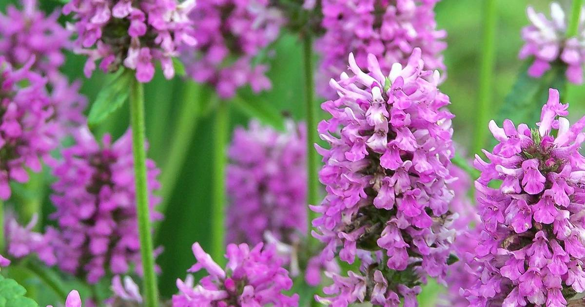 Stachys Hummelo Is Chosen Perennial Plant Of The Year