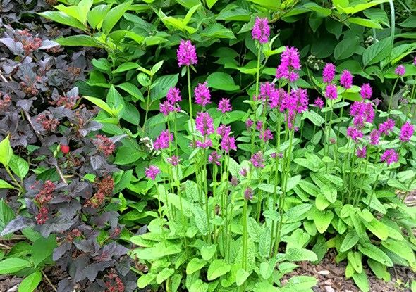 Hummelo, a member of the Stachys family, is perfect for edging a border.