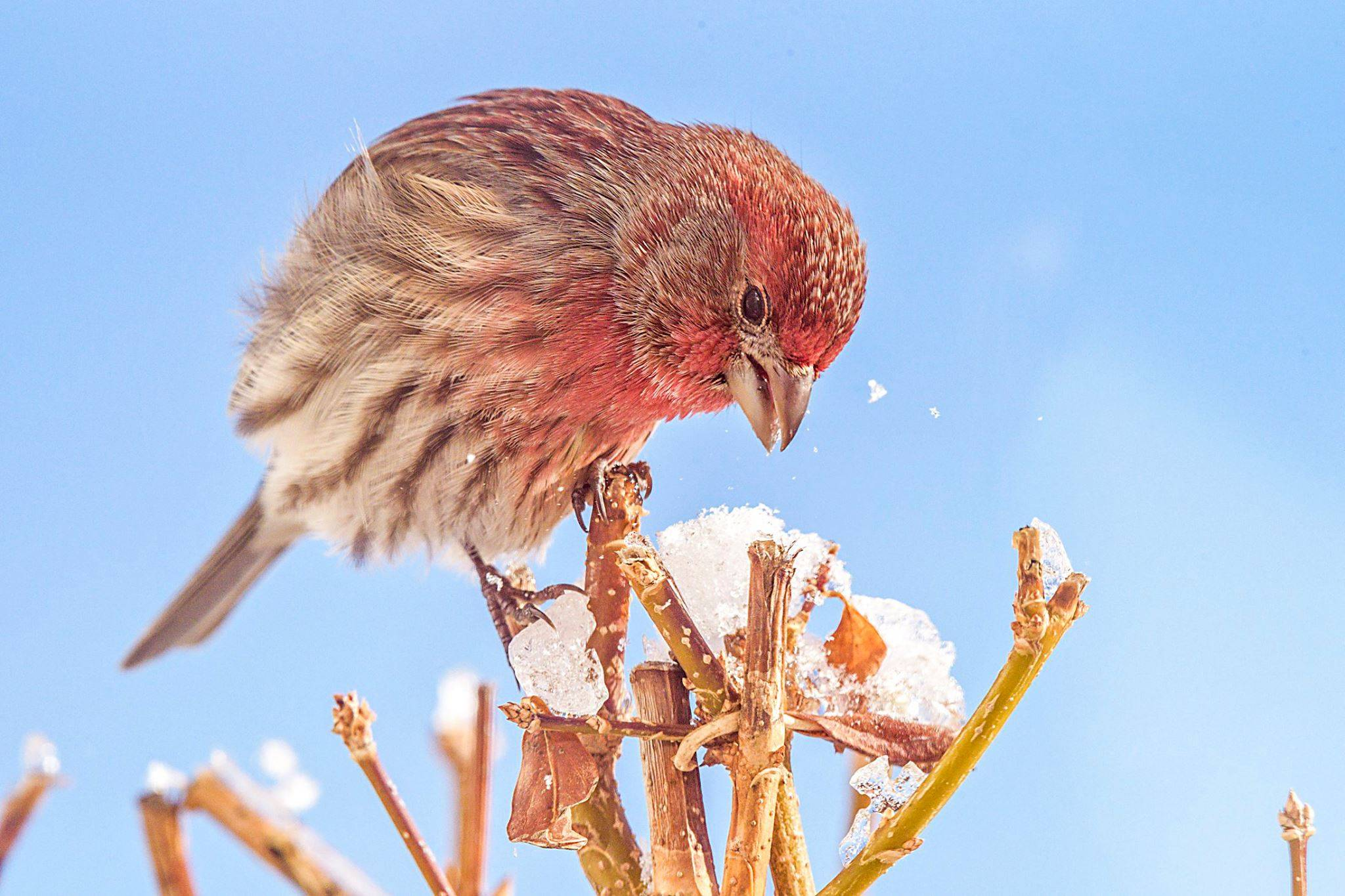 Male house finch in Carpentersville.